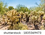 Teddy Bear Cholla Cactus...