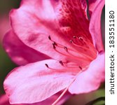Pink Azalea In Garden