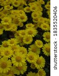 Yellow Flowers Of Chrysanthemu...
