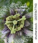 Passion Fruit Flower Closeup...