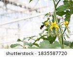 Bumblebee Pollinating Flowers...