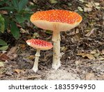 Two Fly Agaric Mushrooms On The ...