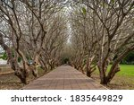 Plumeria Tree Tunnel At Nan...