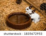 Two White Rabbits Drinking...