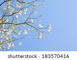 White Flowering Dogwood Tree ...