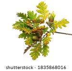 oak leaves on branch with acorn ... | Shutterstock . vector #1835868016