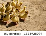 Mother Duck With Her Ducklings. ...