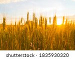 Wheatfield Of Gold Color In...