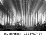 Misty Spruce Forest In The...