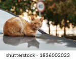 Ginger Cat Lies On The Hood Of...