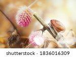 Garden Snail On Wild Flower In...