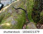 A Single Black Rat Snake...