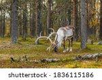 Wild reindeer grazing in pine...