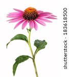 Echinacea Flower For Homeopath...