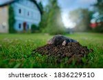 Small photo of Mole, urban wildlife. Mole in garden with house in background. Mole, Talpa europaea, crawling out of brown molehill, green grass. Wide angle lens with cute animal, garden wildlife.