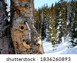 Large Tall Tree Trunk Dried Ou...