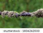 Lichens On A Larch Branch ...