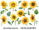 Sunflowers Isolated On White...