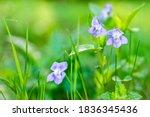 Viola Arvensis Is Species Of...