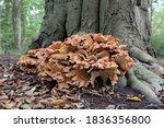 Laetiporus Sulphureus Is A...