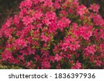 Pink Red Rhododendron Bush Wit...