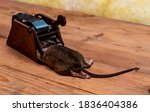 Dead Brown House Mouse In A...