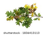 oak leaves on branch with acorn ... | Shutterstock . vector #1836413113