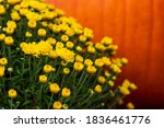 Yellow Mums With Out Of Focus...