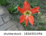 The Hippeastrum Puniceum. It...