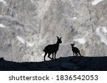 Silhouette Of A Mountain Goat...