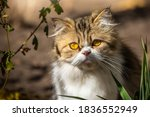 Fluffy Persian Cat Outdoors On...