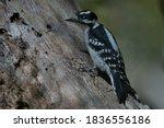 Downy Woodpecker Walking On...