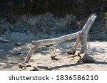 Closeup Of Lizard Like...