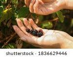 Woman Picking Blackberries Off...
