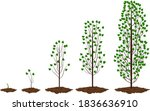 five stages of growing maple... | Shutterstock .eps vector #1836636910