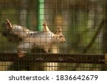 Little Red Squirrel Sits In A...