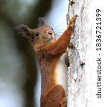 Red Squirrel Climbing An Oak...