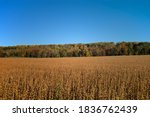 Maturing Field Of Soybeans In...