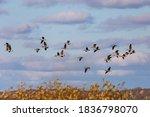 Flock Of Geese. English Name O...