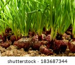 growing green onion from large...   Shutterstock . vector #183687344