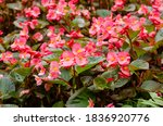 close up of blooming begonia...   Shutterstock . vector #1836920776