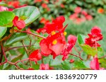 close up of blooming begonia...   Shutterstock . vector #1836920779