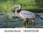 Great Blue Heron Fishing In Th...