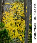 The Ginkgo Tree In Mount Lofty...