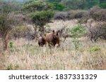 The Black Rhinoceros Or Hook...
