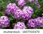 Small photo of Hydrangea companion Pink flower Ami Pasquier
