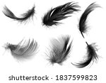 Black Swan Feather Isolated On...