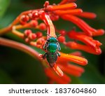 Dilemma Orchid Bee - Euglossa dilemma. Biscayne National Park