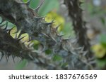Crown Of Thorns. Flowers With...