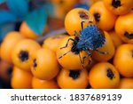 blue bug heteroptera close up... | Shutterstock . vector #1837689139
